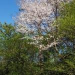 ちょっと遅れて桜を見てきたよ